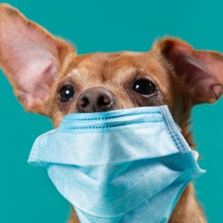 dog wearing surgical mask